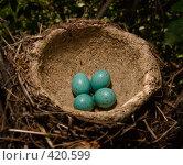 Купить «Гнездо певчего дрозда Turdus philomelos(Song Thrush)», фото № 420599, снято 25 мая 2007 г. (c) Василий Вишневский / Фотобанк Лори