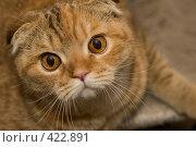 Купить «Рыжая кошка», фото № 422891, снято 1 января 2008 г. (c) Андрей Востриков / Фотобанк Лори