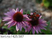 Бабочки на цветке розовой рудбекии. Стоковое фото, фотограф Елена Филиппова / Фотобанк Лори