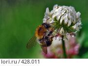 Купить «Шмель,сидящий на цветке клевера», фото № 428011, снято 25 августа 2007 г. (c) Akunia-Gerrero N.V. / Фотобанк Лори