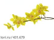 Купить «Ветвь желтых орхидей на белом фоне», фото № 431679, снято 16 ноября 2018 г. (c) Sergey Toronto / Фотобанк Лори