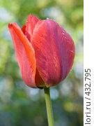 Купить «Капли дождя на тюльпане», фото № 432795, снято 3 мая 2008 г. (c) Алексей Бок / Фотобанк Лори