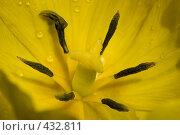 Купить «Цветок желтого тюльпана в саду», фото № 432811, снято 18 мая 2008 г. (c) Алексей Бок / Фотобанк Лори