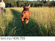 Купить «Собака с игрушкой», фото № 434755, снято 25 июля 2008 г. (c) Olya&Tyoma / Фотобанк Лори