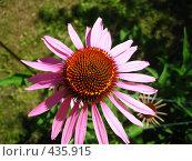 Купить «Эхинацея», фото № 435915, снято 26 июля 2008 г. (c) Андрей / Фотобанк Лори