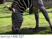 Купить «Зебра», фото № 438327, снято 23 июля 2008 г. (c) Малютин Павел / Фотобанк Лори