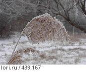 Купить «Зимний камыш», фото № 439167, снято 7 января 2008 г. (c) Ольга Завгородняя / Фотобанк Лори