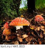 Купить «Мухоморы в листве», фото № 441803, снято 19 августа 2008 г. (c) Стучалова Наталия / Фотобанк Лори