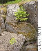 Купить «Ёлочки, растущие на скалах. Валаам.», фото № 445171, снято 6 августа 2008 г. (c) Заноза-Ру / Фотобанк Лори