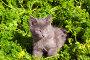 Играющий в траве котенок, фото № 445843, снято 15 августа 2008 г. (c) Дмитрий Ощепков / Фотобанк Лори