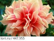 Купить «Махровый георгин», фото № 447955, снято 5 сентября 2008 г. (c) Людмила Пашкевич / Фотобанк Лори