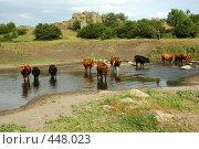 Коровы на водопое. Стоковое фото, фотограф крижевская юлия валерьевна / Фотобанк Лори