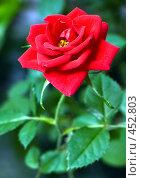 Купить «Домашняя роза», фото № 452803, снято 9 июля 2008 г. (c) Андрей Ганичев / Фотобанк Лори