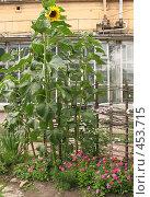 Купить «Гигантский подсолнух», фото № 453715, снято 9 августа 2008 г. (c) Морковкин Терентий / Фотобанк Лори