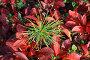 Маленький кедр на фоне Арктоуса альпийского (Arctous alpina (L.) Niedenzu) и кустиков брусники, эксклюзивное фото № 454743, снято 11 сентября 2008 г. (c) Григорий Писоцкий / Фотобанк Лори
