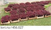 Купить «Декоративная цветочная рассада», фото № 456027, снято 27 мая 2008 г. (c) Морковкин Терентий / Фотобанк Лори