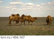Купить «Верблюды в степи», фото № 456167, снято 28 апреля 2007 г. (c) Владимир Чмелёв / Фотобанк Лори