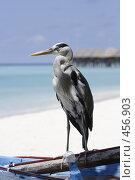 Купить «Серая цапля у моря, мальдивы», фото № 456903, снято 23 ноября 2007 г. (c) Лев Сатаров / Фотобанк Лори