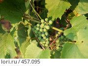 Купить «Зеленый виноград», фото № 457095, снято 14 августа 2008 г. (c) Анжелина Селинская / Фотобанк Лори
