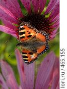 Купить «Бабочка на цветке», фото № 465155, снято 6 сентября 2008 г. (c) Сергей Пестерев / Фотобанк Лори