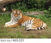 Купить «Амурский тигр», фото № 469031, снято 17 сентября 2008 г. (c) Хименков Николай / Фотобанк Лори
