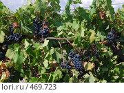 Купить «Виноградный куст», фото № 469723, снято 13 сентября 2008 г. (c) Игорь Архипов / Фотобанк Лори