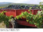 Купить «Сбор винограда», фото № 469731, снято 13 сентября 2008 г. (c) Игорь Архипов / Фотобанк Лори