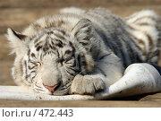 Купить «Белый тигр», эксклюзивное фото № 472443, снято 20 сентября 2008 г. (c) Журавлев Андрей / Фотобанк Лори