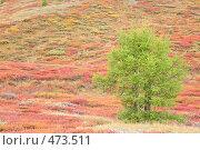 Купить «Лиственницы в горной тундре, Алтай», фото № 473511, снято 31 августа 2008 г. (c) Владимир Мельник / Фотобанк Лори