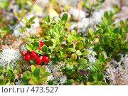 Купить «Лесные ягоды: брусника», фото № 473527, снято 4 сентября 2008 г. (c) Владимир Мельник / Фотобанк Лори
