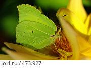 Купить «Бабочка на желтом цветке», фото № 473927, снято 21 сентября 2008 г. (c) Саломатников Владимир / Фотобанк Лори