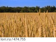 Купить «Пшеничное поле», фото № 474755, снято 17 ноября 2018 г. (c) Александр Ерёмин / Фотобанк Лори