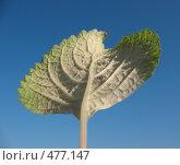 Купить «Плектрантус (plectranthus), лист макро, изнанка», фото № 477147, снято 24 сентября 2008 г. (c) Морковкин Терентий / Фотобанк Лори