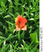 Красный тюльпан. Стоковое фото, фотограф Elena Anisimova / Фотобанк Лори
