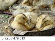 Купить «Утята в миске для еды», фото № 479619, снято 24 июля 2005 г. (c) Ирина / Фотобанк Лори
