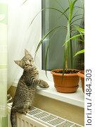 Купить «Котенок мэйн-куна на подоконнике», фото № 484303, снято 29 сентября 2008 г. (c) Ольга Красавина / Фотобанк Лори