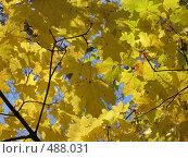 Купить «Жёлтые кленовые листья», фото № 488031, снято 1 октября 2008 г. (c) Кристина Викулова / Фотобанк Лори