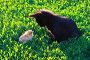 Котёнок и цыплёнок смотрят друг на друга, эксклюзивное фото № 488411, снято 20 июня 2008 г. (c) Григорий Писоцкий / Фотобанк Лори