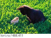 Купить «Котёнок и цыплёнок смотрят друг на друга», эксклюзивное фото № 488411, снято 20 июня 2008 г. (c) Григорий Писоцкий / Фотобанк Лори