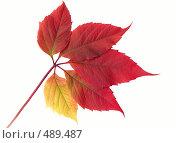 Купить «Осенний лист», фото № 489487, снято 19 сентября 2018 г. (c) ElenArt / Фотобанк Лори