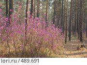Купить «Кусты цветущего багульника в лесу», фото № 489691, снято 16 мая 2008 г. (c) Виталий Попов / Фотобанк Лори