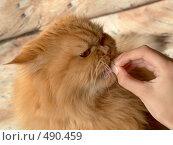 Кормление кота. Стоковое фото, фотограф ElenArt / Фотобанк Лори