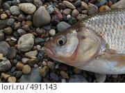Купить «Рыба Язь», фото № 491143, снято 12 июня 2008 г. (c) Сергей Нестеров / Фотобанк Лори