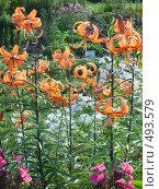 Флоксы и лилии. Стоковое фото, фотограф Римма Радшун / Фотобанк Лори