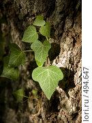 Купить «Плющ на фоне дерева», фото № 494647, снято 11 сентября 2007 г. (c) Константин Чевелёв / Фотобанк Лори