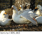 Купить «Утки белые», фото № 495383, снято 5 октября 2008 г. (c) Ольга Романенко / Фотобанк Лори