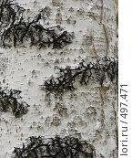Кора берёзы. Стоковое фото, фотограф Татьяна Сысоева / Фотобанк Лори