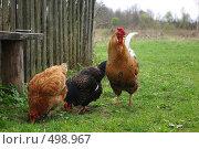 Купить «Куры», фото № 498967, снято 30 апреля 2007 г. (c) Саломатников Владимир / Фотобанк Лори