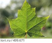 Купить «Кленовый лист», эксклюзивное фото № 499671, снято 21 июля 2007 г. (c) Михаил Карташов / Фотобанк Лори
