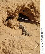Купить «Ящерица у норы», фото № 499827, снято 18 сентября 2008 г. (c) Игорь Муртазин / Фотобанк Лори